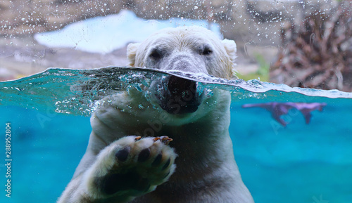 Fotografia Polar Bear arctic animal wildlife underwater ice