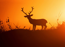 Big Buck With Large Antlers Against The Sunset With A Nice Silhouette