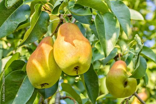 Ripe juicy pears on a branch in the garden, close-up Fototapeta