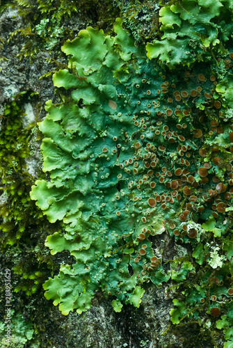 Lichen (Lobaria quercizans) on tree trunk in Shenandoah National Park in central Virginia in summer, showing brown fruiting bodies Canvas Print