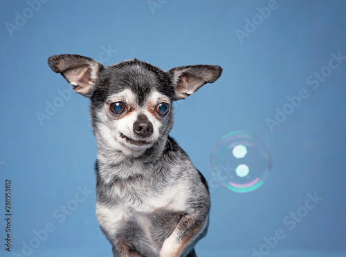 Valokuvatapetti cute chihuahua looking at a bubble in a studio setting