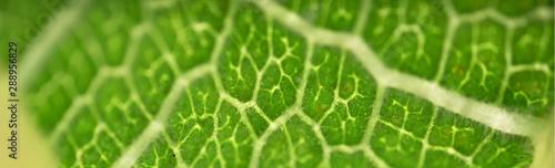 Texture venature di foglia di fico -clorofilla verde Billede på lærred