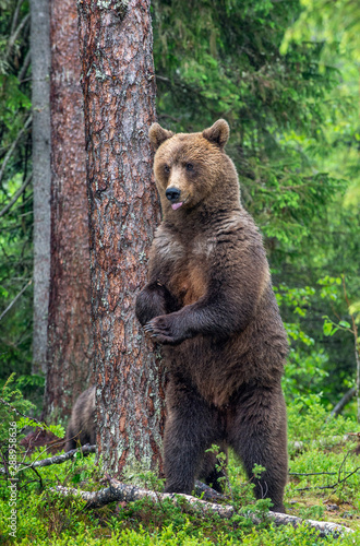 Female of Brown bear stands on its hind legs by a tree in a summer forest Tapéta, Fotótapéta