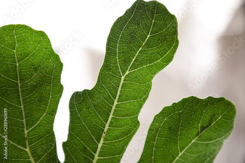 Venature della foglia verde dell'albero di fico Slika na platnu