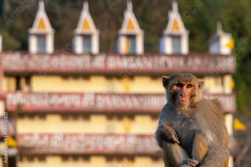 Photo monkey sitting in rishikesh,india with an ashram behing it