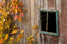 Old Barn Window With Poison Iv...