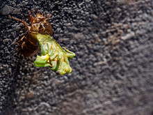 Late Nymph Cicada Molting Into...