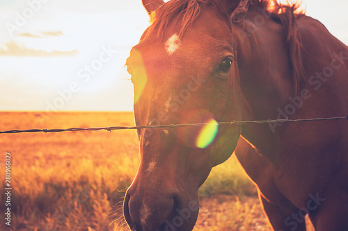 Foto op Canvas Paarden Chesnut Horse At Sunset In Western Landscape Through Barbed Wire Fence