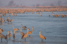 Huge Flock Of Sandhill Cranes ...