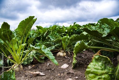 Obraz na plátně Sugar Beet Field . Agriculture , bad weather for a harvest .