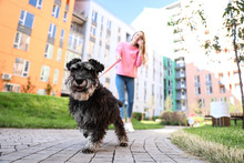 Woman Walking Her Adorable Miniature Schnauzer Dog Outdoors