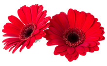 Bouquet Of Two   Red Tulips Flowers Isolated On White Background Closeup. Flowers Bunch In Air, Without Shadow. Top View, Flat Lay.