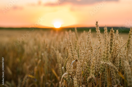 Foto op Plexiglas Weide, Moeras Wheat field. Golden ears of wheat on the field. Background of ripening ears of meadow wheat field. Rich harvest. Agriculture of natural product.