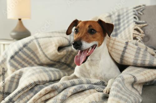 Obraz Adorable Jack Russell Terrier dog under plaid on sofa. Cozy winter - fototapety do salonu