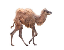 Baby Camel With Two Humps , Ba...