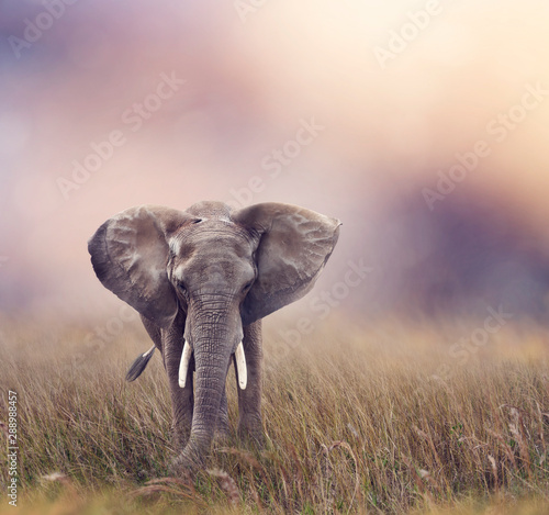 Photo  African Elephant in the grassland