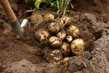Agricultural Work On Harvesting Potatoes, Bush With Fruits Of Freshly Dug Potatoes On The Ground