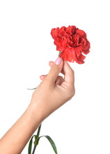 Female Hand With Beautiful Carnation Flower On White Background