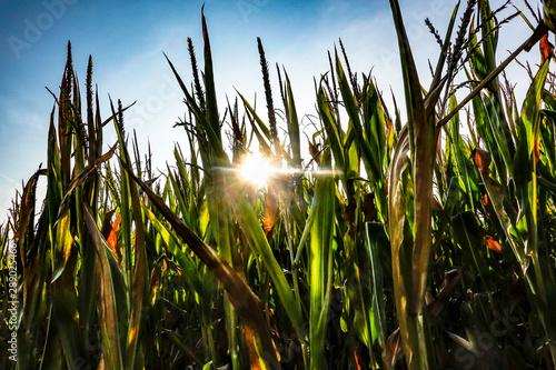 Fotomural Gotland, Sweden A cornfield at sunset.