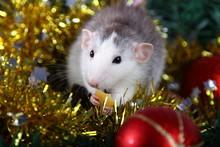 Cute Gray Domestic Rat In A Ne...
