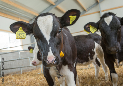 Photo Stands Cow Calf. Calves at stable. Farming. Netherlands. Cows