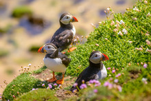 Puffin Atlantic Bird Colors Co...