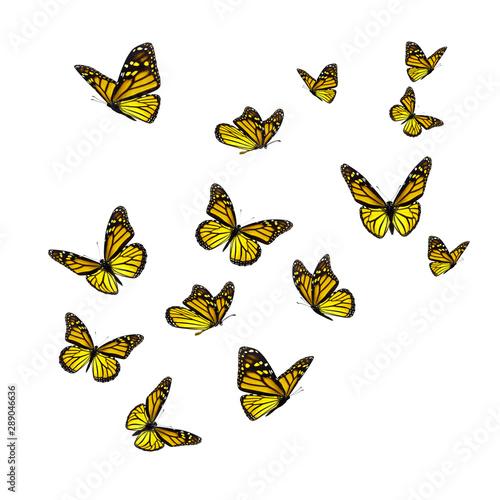 Obraz na plátně  Beautiful yellow monarch butterfly