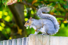 Closeup Of Eastern Gray Squirrel Eating An Acorn On A Fence