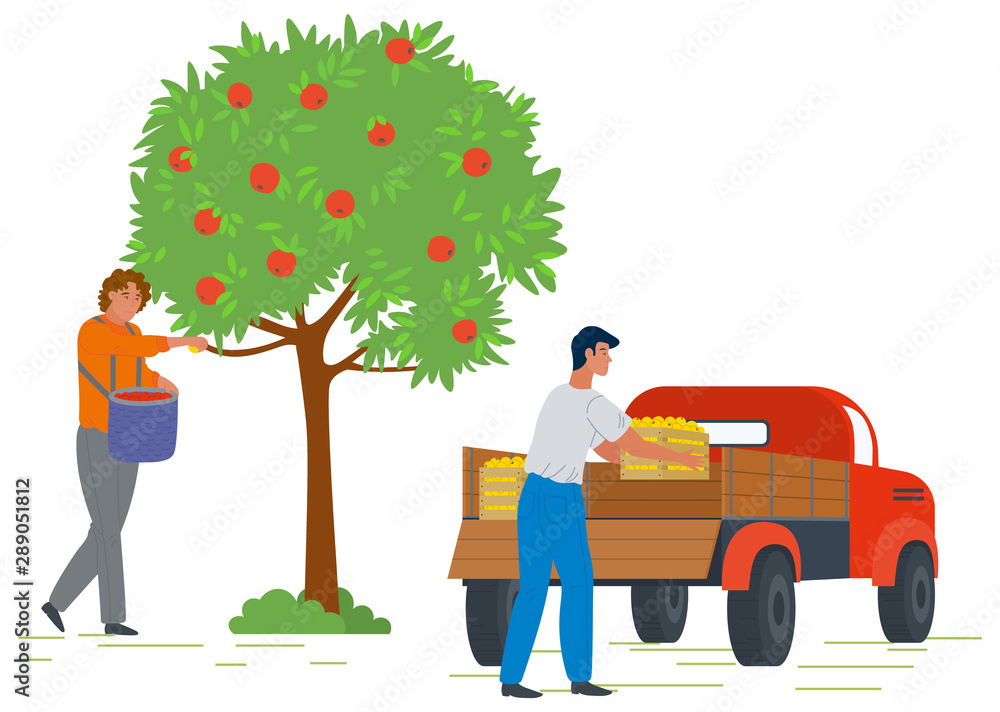 Fototapety, obrazy: Male gardener picking fresh ripe red apples from tree and putting in basket. Man loading truck with fruit boxes. Harvesting concept vector Illustration. Pick apples concept. Flat cartoon