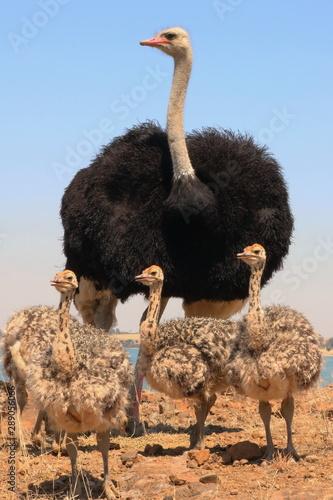 Spoed Foto op Canvas Struisvogel Straußen Vater mit Babies