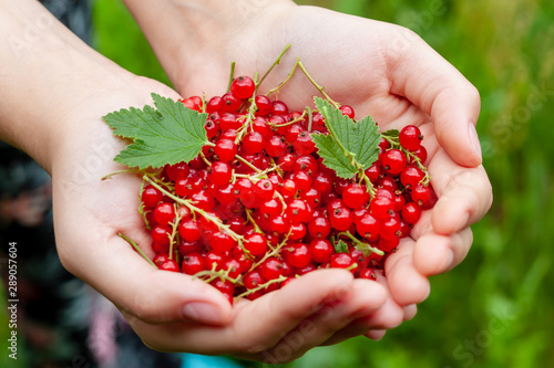 Red currant in the palms of a young woman. - 289057604