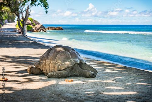 Seychelles giant tortoise, La Digue island. Billede på lærred