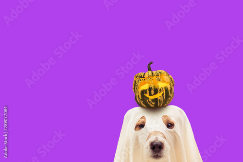 Fotografering Funny dog in Halloween costume of ghost holding small pumpkin on head