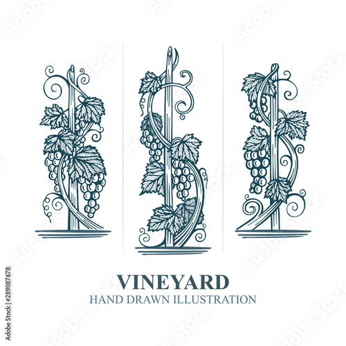 Grapes in vineyard. Hand drawn vine and grape bunch engraving style illustration. Vineyard stylized logo and design element. Wine theme grape and vine vintage style ornament. Part of set. Fototapete