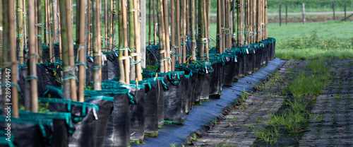 Poster Bamboe Tree nursery. Horticulture Netherlands.