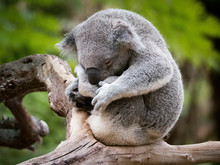 Sleepy And Cuddly Koala In A Tree, Australia