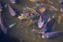A Large Group Of Tilapia In Th...