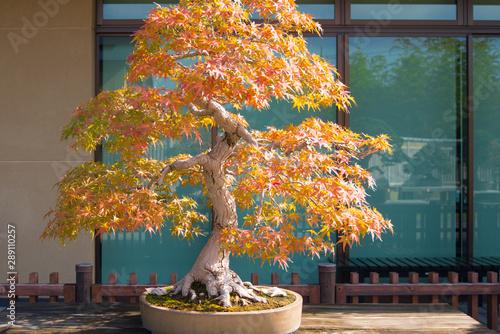 Autocollant pour porte Bonsai Japanese maple bonsai in Omiya bonsai village at Saitama, Japan