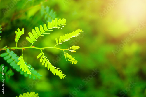 Foto auf Gartenposter Lime grun Closeup nature view of Tamarind leaves in garden at summer under sunlight. Natural green plants landscape using as a background or wallpaper.