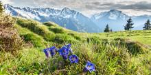 Panorama Von Alpenblumen Enzia...