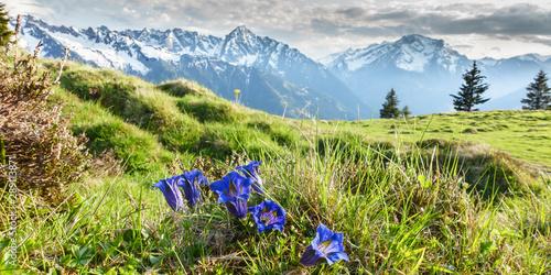 Fotografie, Obraz  Panorama von Alpenblumen Enzian in den Bergen