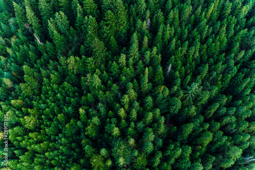 Fototapeten Wald Spruce forest of the Ukrainian Carpathians, top view of picturesque centuries-old trees.