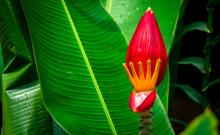 Beautiful Red Banana Flower, T...