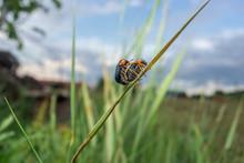 Mating Beetles. Smaragdina Spe...