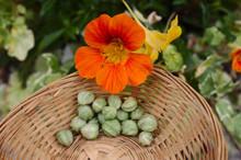 Kapuzinerkresse Blüte Und Samen