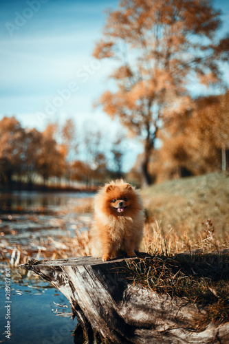 Beautiful pomeranian dog in autumn park. Autumn dog. Dog in autumn park