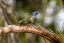Golden-Chevroned Tanager In Wi...
