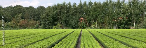 Foto auf AluDibond Pistazie Horticulture. Tree nursery Netherlands
