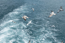Seagulls Diving For Food