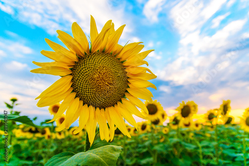 obraz lub plakat Sunflower flower close up on the field at sunset background